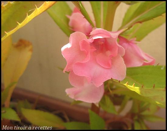 balsamine rose