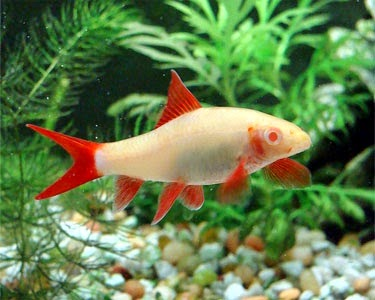 Ikan Hias Redfin