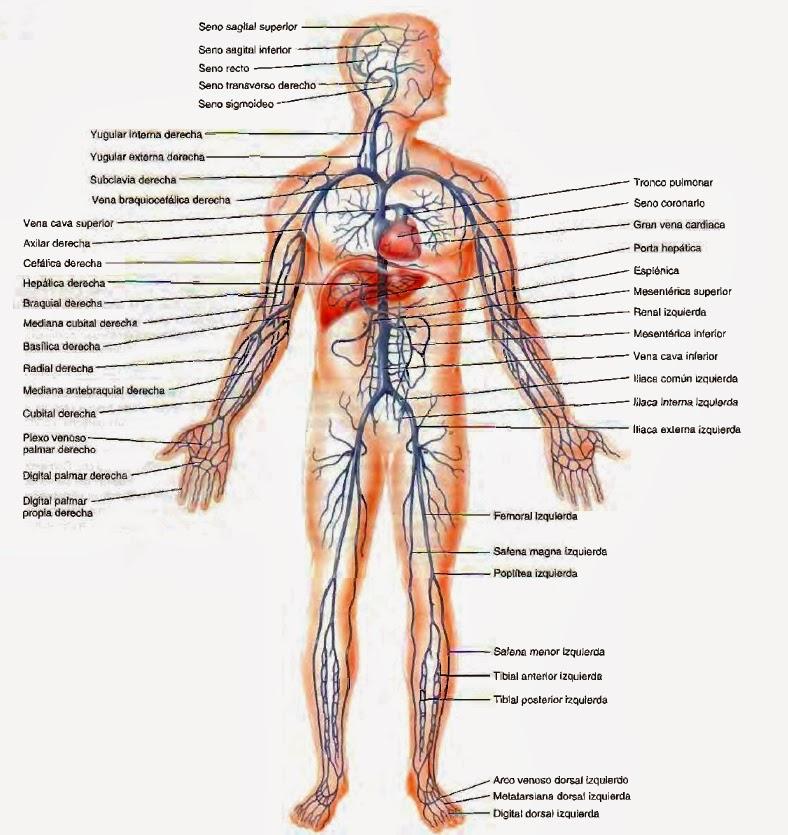 anatomia radiologica - vascular: 2017