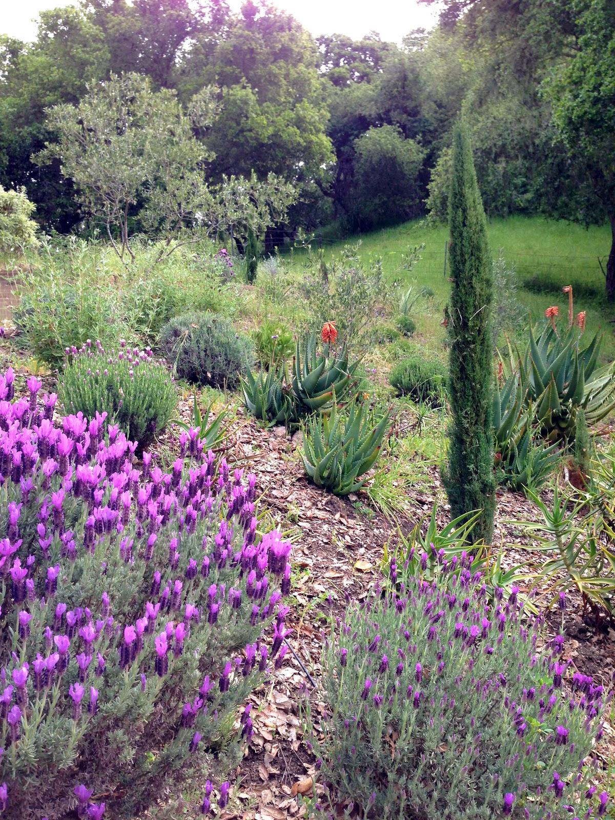 monterey lavender