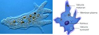 Rhizopoda (Pengertian, Ciri-Ciri, Klasifikasi & Reproduksinya)
