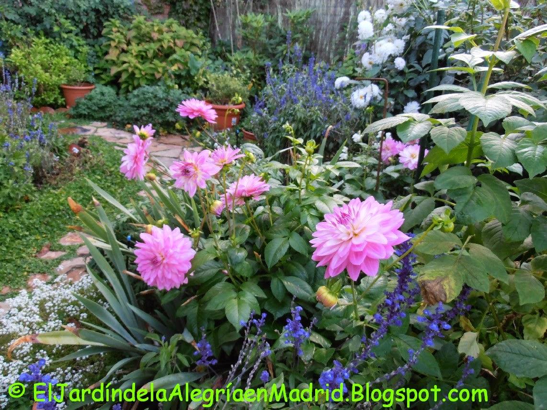 El jardín de la alegría : Plantar y dividir dalias (Dahlia)
