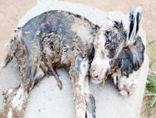 two-headed goat ilorin kwara state