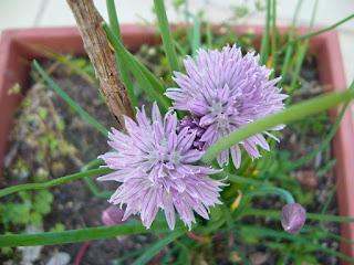 flor de la cebolleta