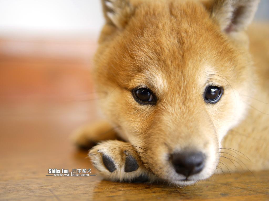 http://3.bp.blogspot.com/-EExYU1m7BW4/TgxxLW6TsPI/AAAAAAAAJ7s/0Jzego_LPVo/s1600/Shiba_Inu_dog_wallpaper_GP136_350A.jpg
