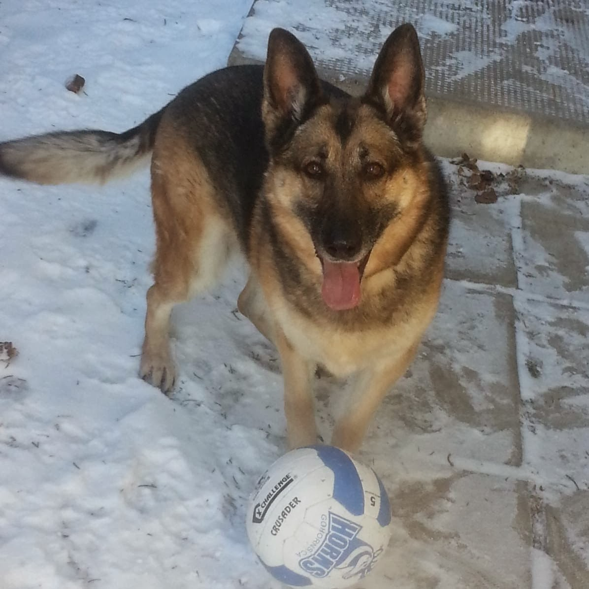 Cute dogs - part 9 (50 pics), german shepherd plays with ball