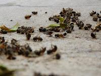 Lebah yang terkena Pestisida
