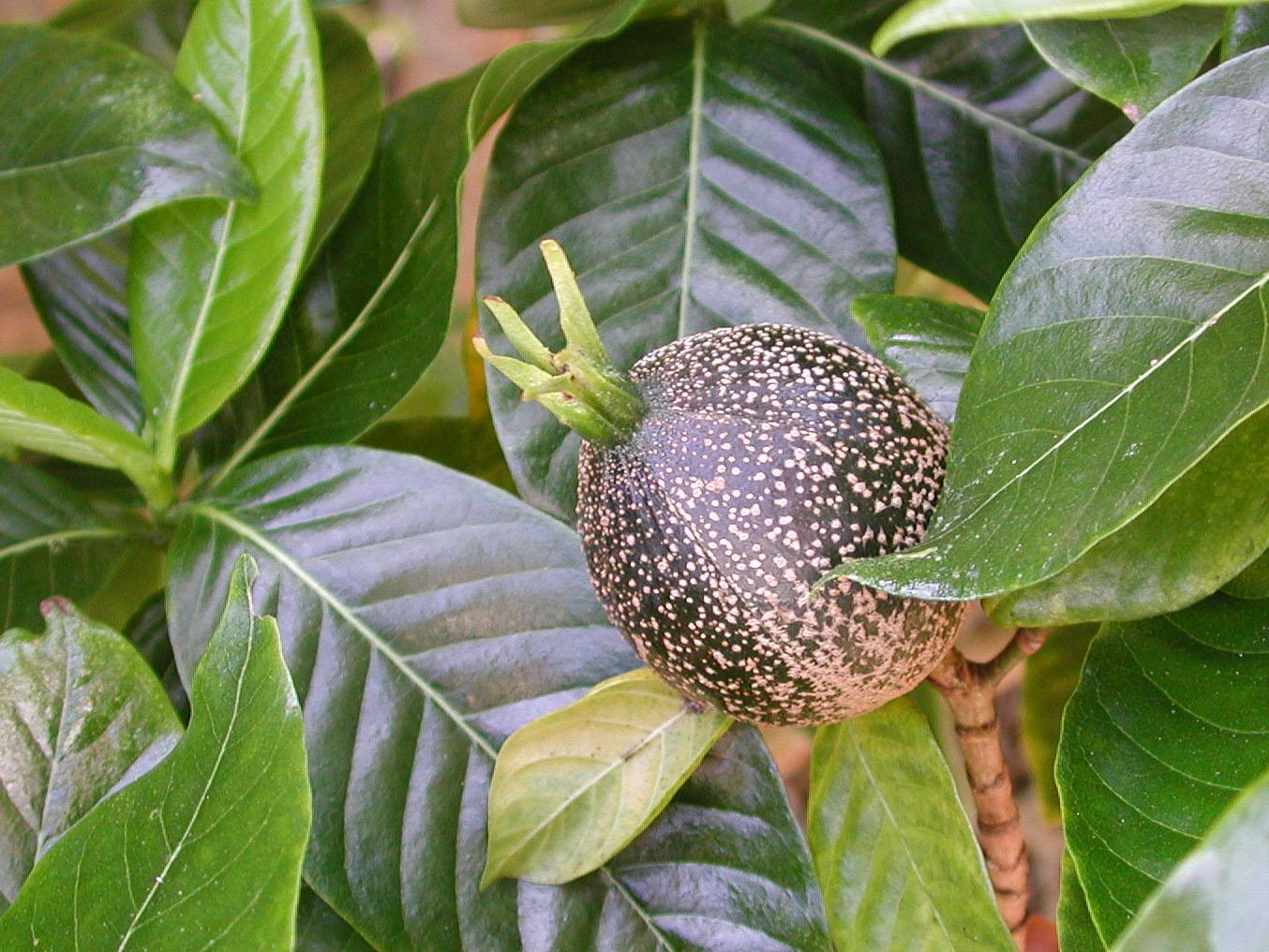 A hawaiian gardenia gardenia brighamii hawaii horticulture izmirmasajfo Images