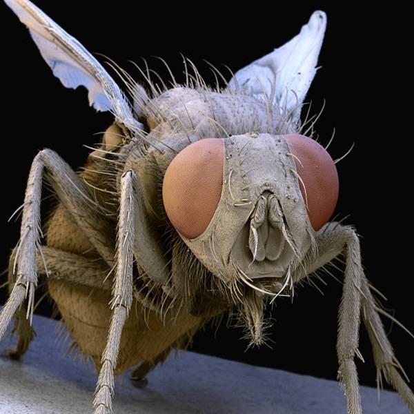 lalat-dibesarkan