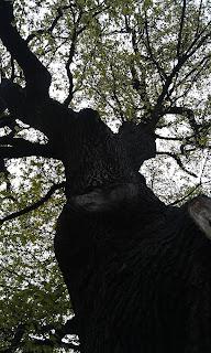 Quercus robur - Oak Tree Brockwell Park