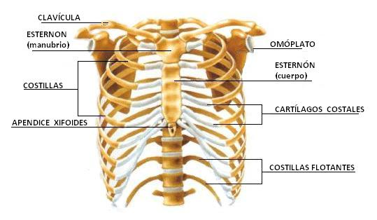 Aprendizaje y Conocimiento: anatomia humana