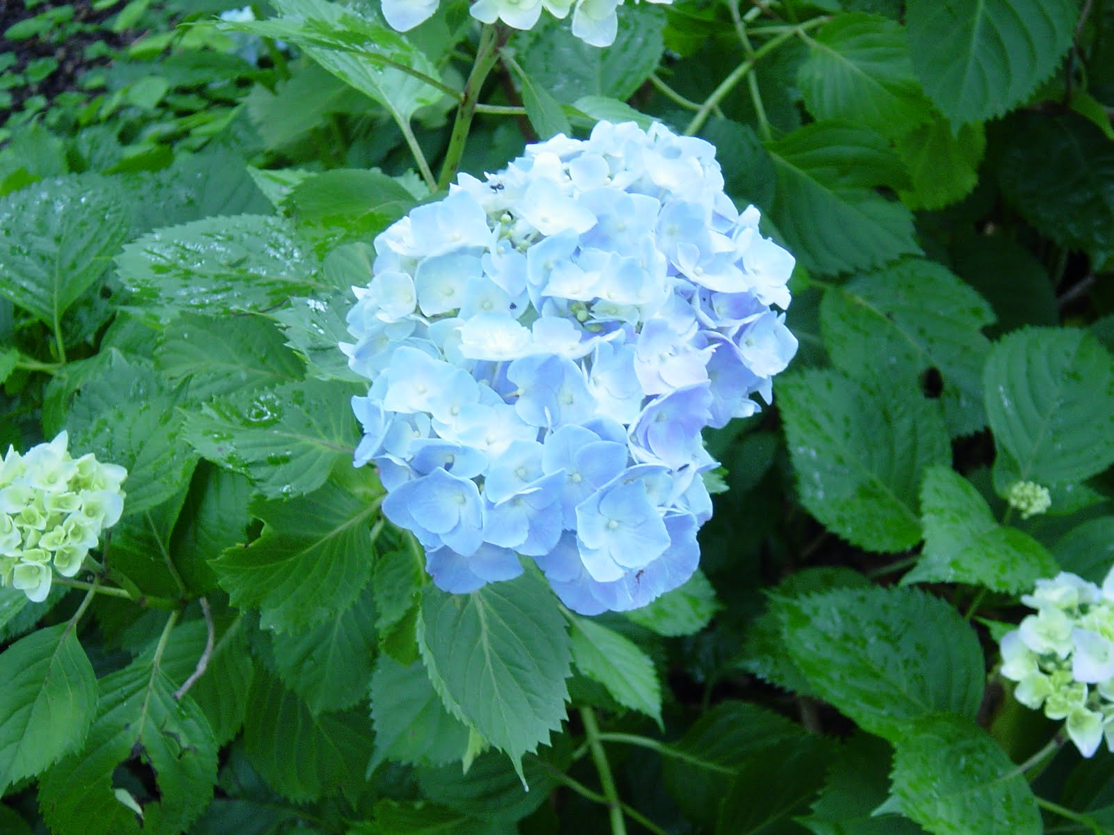 Crabapple landscapexperts hydrangeas what are mopheads and lacecaps white hydrangea flowers are also a delight and are not affected by soil ph izmirmasajfo Images