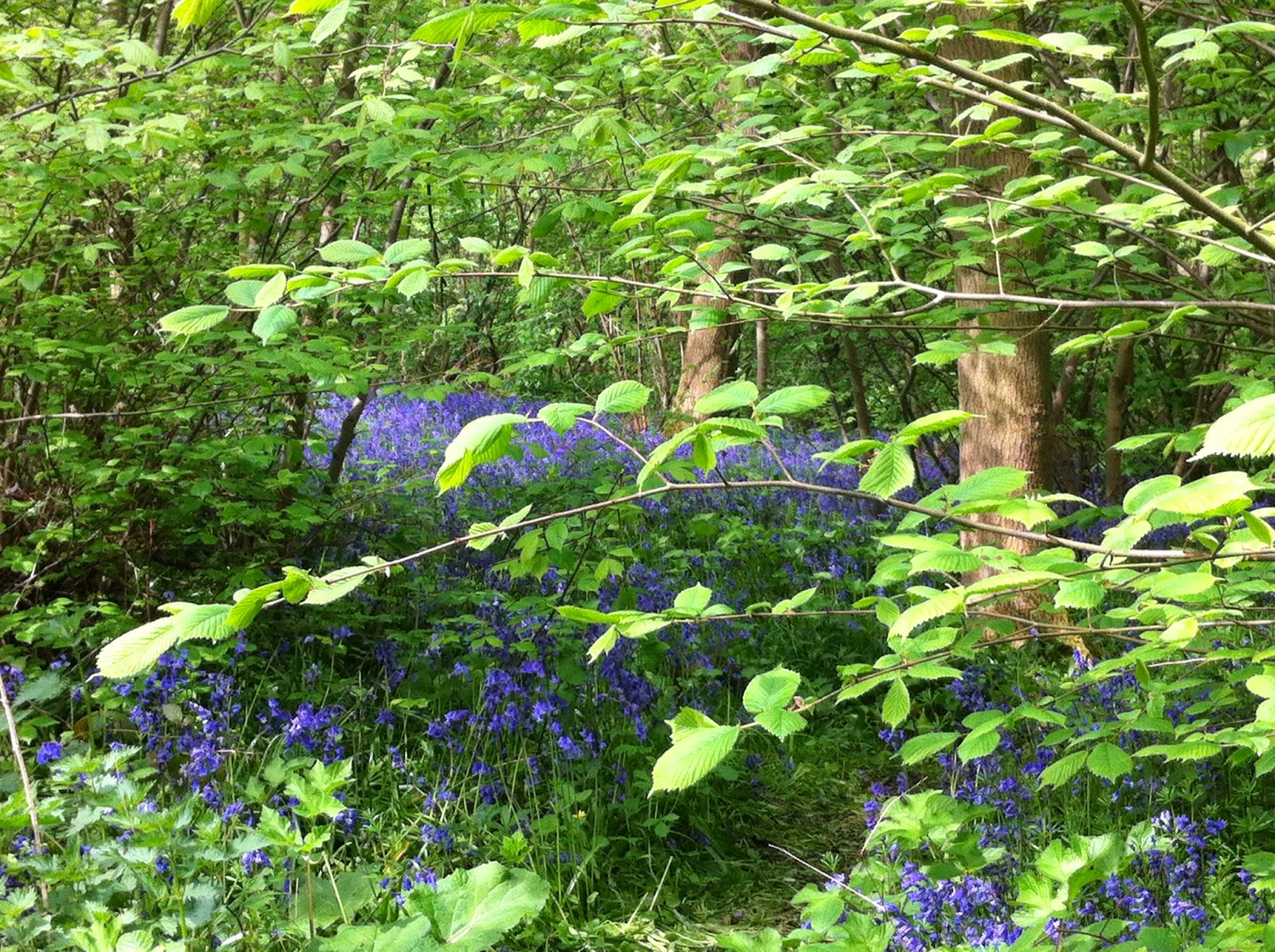 Bluebells Old Bunny Wood