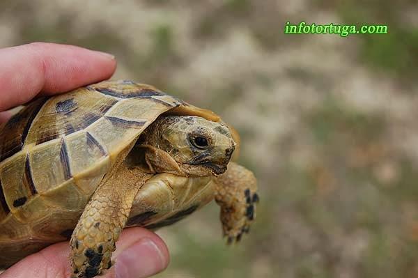 Tortuga mora - Testudo graeca