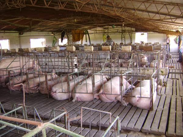 Maltrato animal la crianza de los animales para consumo for Cria de peces para consumo humano