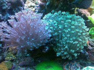 foto koral