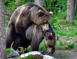 Bear having sex mating