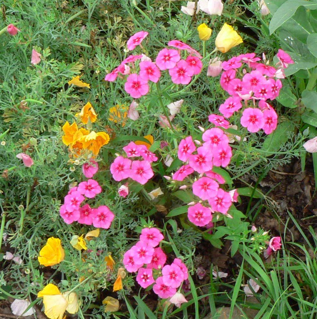 Phlox Drummondii Visit My Garden...