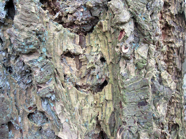 Bark of a Douglas Fir, Pseudotsuga species.  18 February 2012.