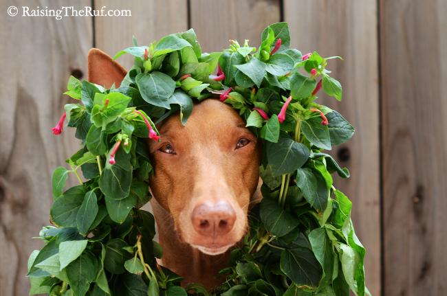 dog wearing wreath
