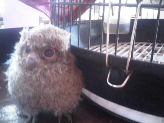 Faza Fatimah Zahrah Celepuk Si Burung Hantu Mini