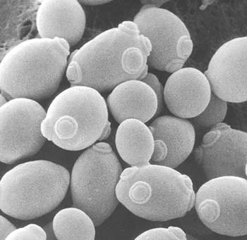 Saccharomyces_cerevisiae2.jpg
