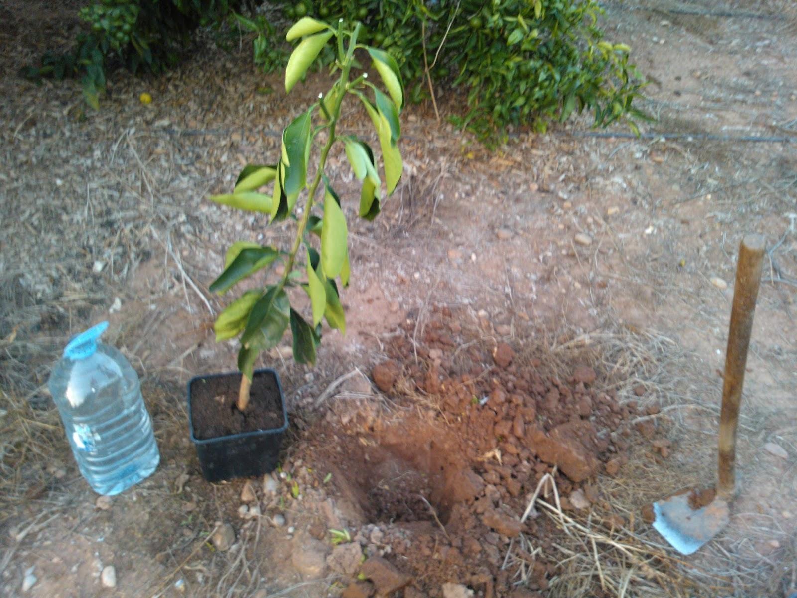 Evoluci n plantar un naranjo - Cuando plantar frutales ...
