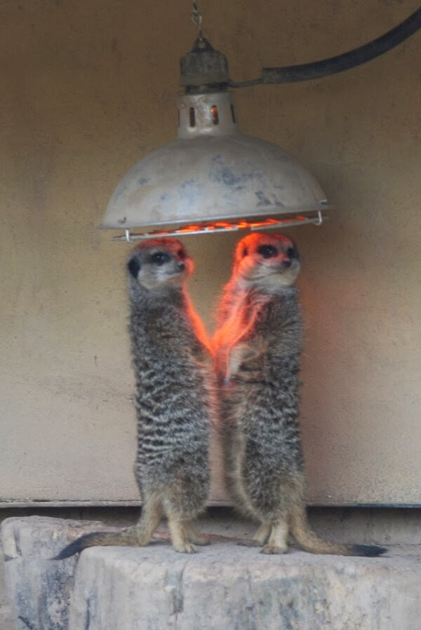 Funny animals of the week - 22 November 2013 (35 pics), meerkats stands under heater