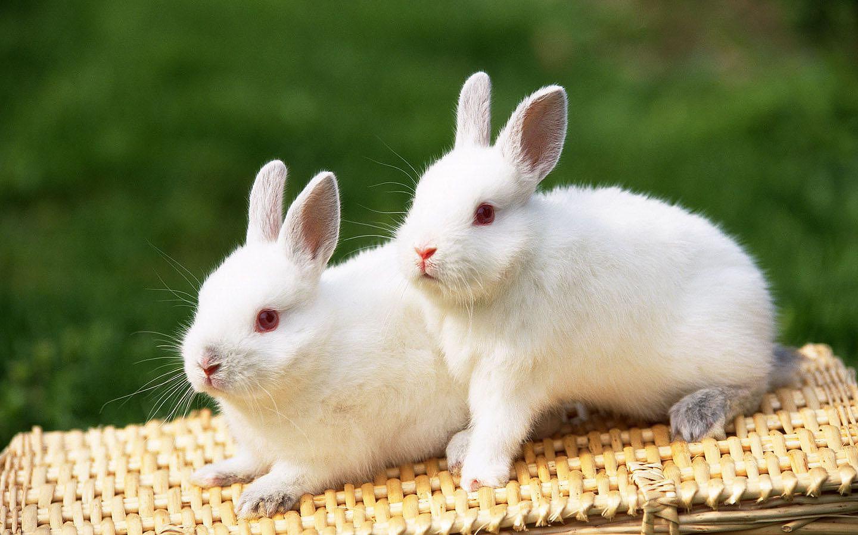 http://3.bp.blogspot.com/-EJTCeVzNX0Q/TyAIKdAfv_I/AAAAAAAAXkw/9Zv8hzHynFo/s1600/Konijnen-achtergronden-dieren-hd-konijnen-wallpapers-foto-21.jpg