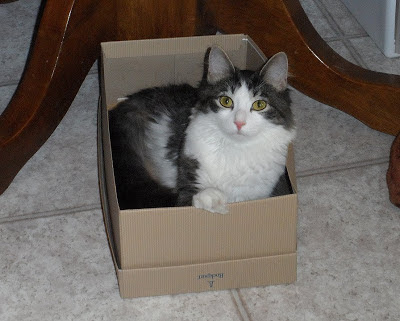 Anakin The Two legged Cat in a shoe box