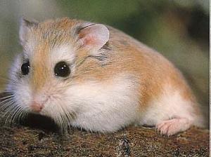 Dwarf Hamster.txt