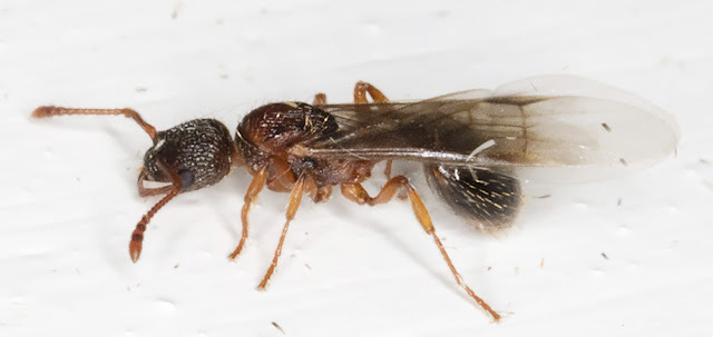 Ant, winged female.  Subfamily Myrmicinae.  In my garden light trap in Hayes on 23 August 2015