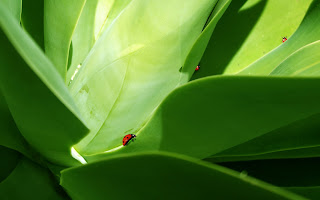Free Download Lady Bugs On Leaf Wallpaper