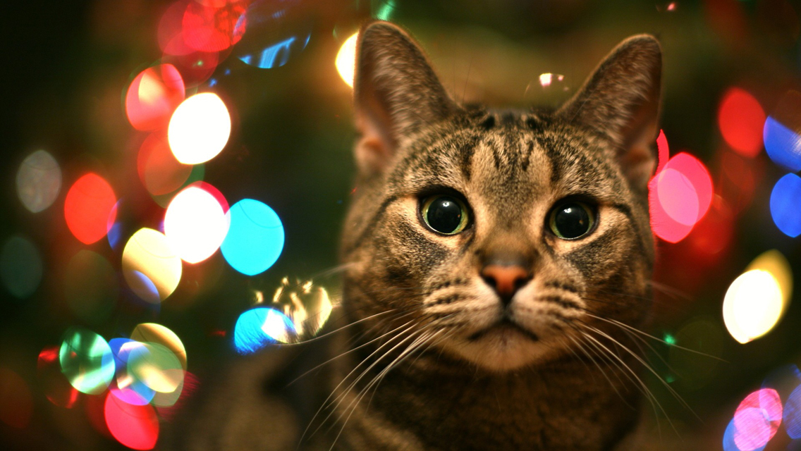 christmas cat free download cute christmas cat hd
