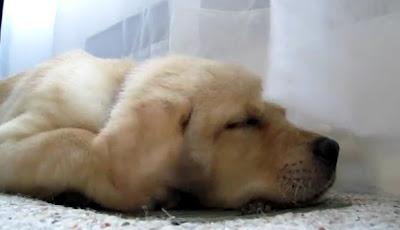 バラフライ犬