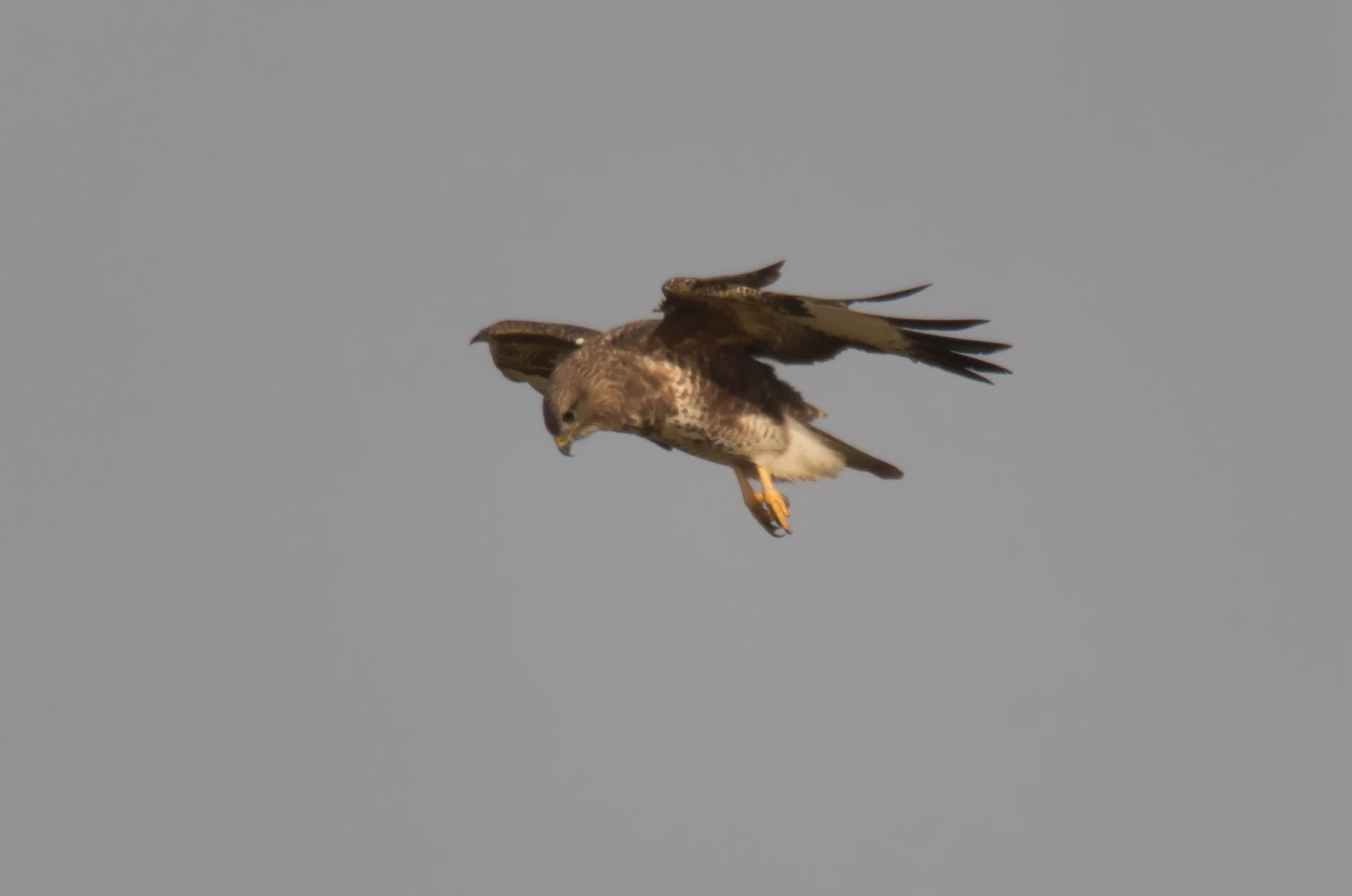 Buzzard, St. Catherines Point - Simon Colenutt