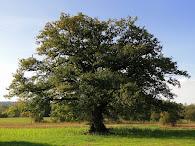 *Alter Baum*
