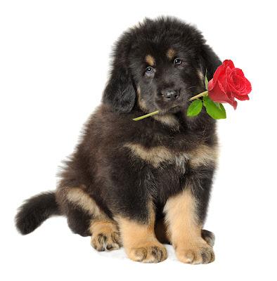 Perrito con una rosa roja en el hocico para san valentín