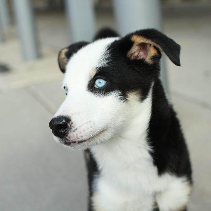 Chiwawa Husky Mix husky chihuahua mix - dog training home dog types