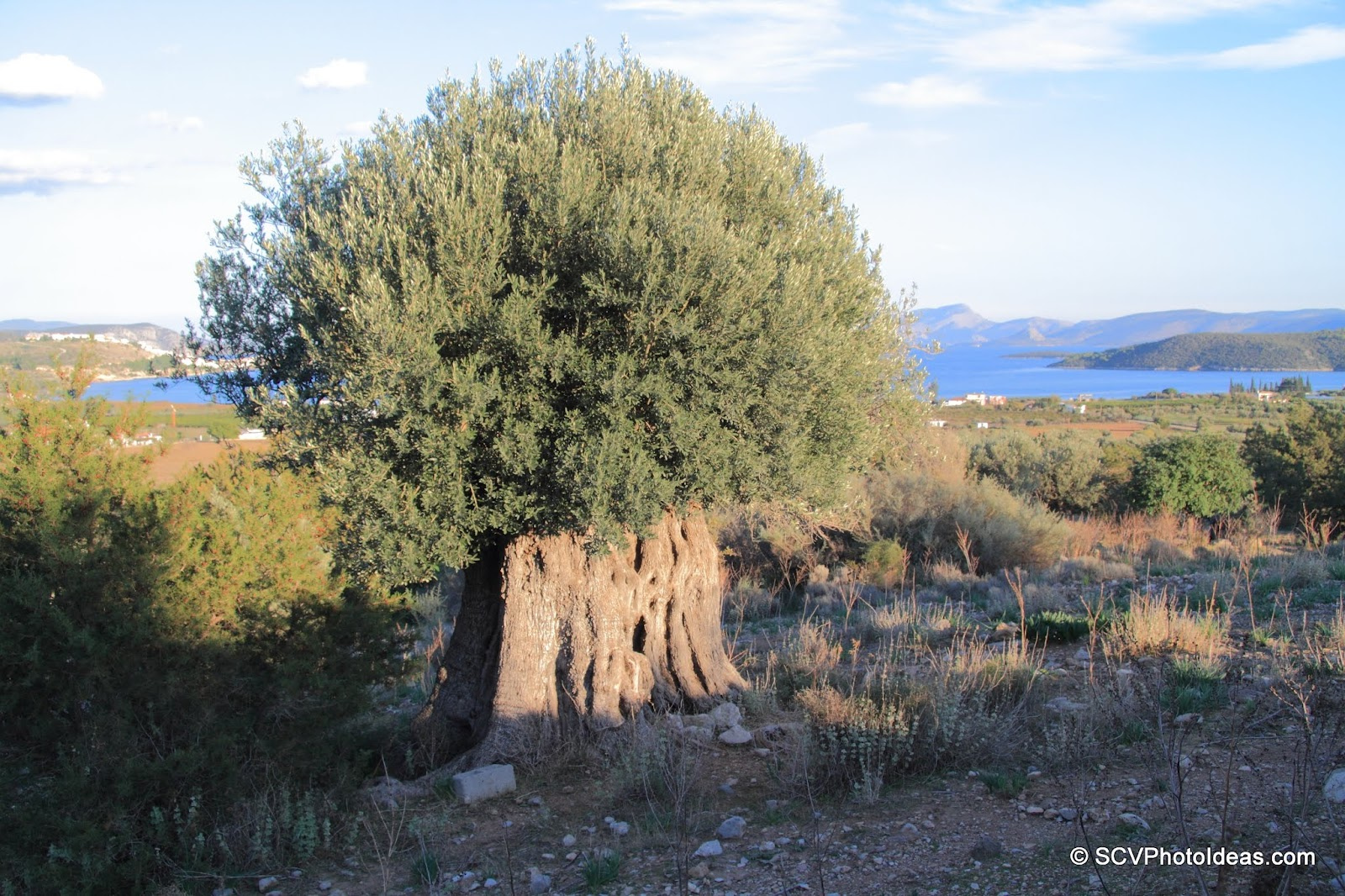 3000 year old ancient Olive lighted by sun setting