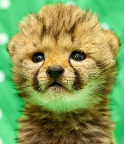 cute cute cheetah baby two cute cheetahs cheetah babyReally Cute Baby Cheetahs