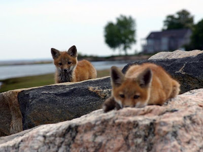 red foxes love picture