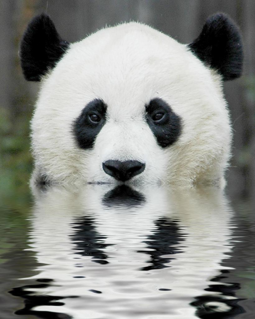wars panda bear - photo #17
