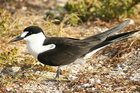 Sooty Terns Help Name an Airfield.