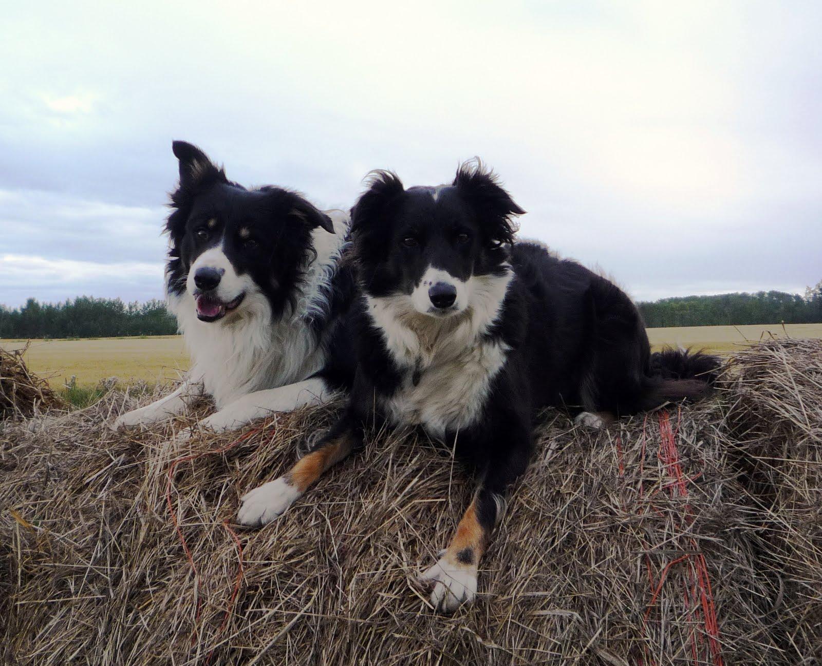 stockdogs  thats sheep