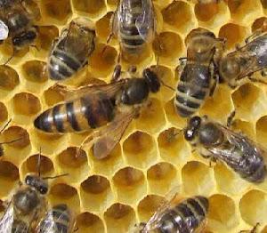 Où sont les abeilles