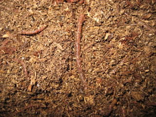 Red Wiggler Worm in Coconut Coir Worm Bin