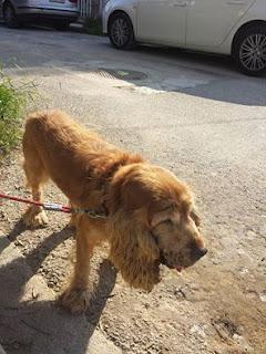 Μολις βρεθηκε χτυπημένο αρσενικό σκυλάκι στην περιοχη του Αμαρουσιου.