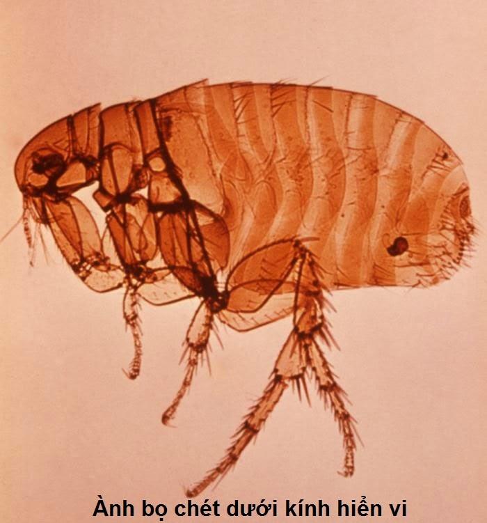 Hình bọ chét dưới kính hiển vi
