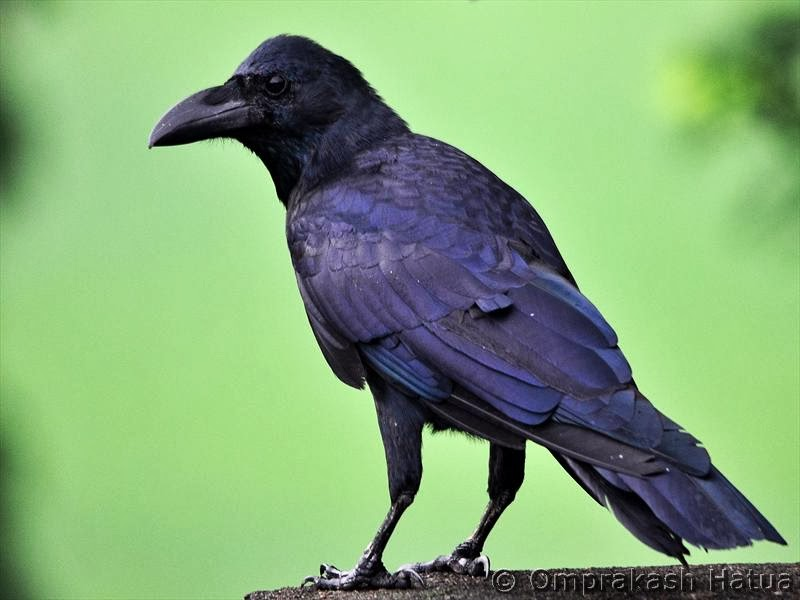 Indian Birds Photography: [BirdPhotoIndia] Eastern Jungle Crow